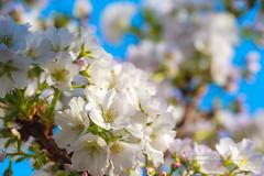 朝氣蓬勃 (湯小米) Tags: newtaipeicity さくら 桜 6d canon flower spring taiwan 新北市 林口區 櫻花 ef100mmf28marco 微距