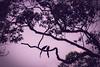Love Will Keep Us Alive (Jimweaver) Tags: bird blue magpie taiwan taipei mountain forest woods tree 長尾山娘 台灣藍鵲 山 森林 樹 asia 亞洲 鳥 天空 線條 feed share 餵食 分享 purple 紫色 情迷 雛 飛 fly feather 羽毛 tail romantic 羅曼蒂克 愛 love