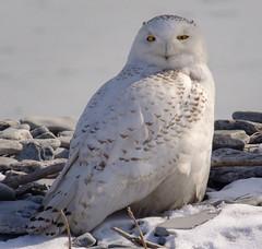 20180318-0856-Snowy Owl on the Lakeshore (Norm Cruse) Tags: amherstisland snowyowl bird