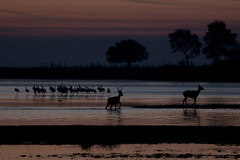 Wild dawning (ramosblancor) Tags: naturaleza nature animales wildlife paisaje landscape ciervo reddeer cervuselaphus aves birds flamenco flamingo color amanecer dawn marisma marshes doñana andalucía españa spain