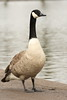 Billy the Canadian duck (Barry Miller _ Bazz) Tags: llens canon5d3 photography nature wildlife canadian goose