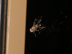 Tephritidae sp. (dhobern) Tags: 2018 china march xtbg xishuangbanna yunnan diptera tephritidae