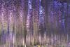 DSC_0064 (juor2) Tags: ashikaga d600 flower japan nikon scene tochigi travel wisteria あしかがフラワーパーク