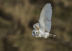 Barn owl (wild) - Eye to eye (Ann and Chris) Tags: avian amazing awesome adorable bird beak cute close elusive eyes feathers flying gorgeous gliding hunting incredible looking nature outdoors owl barnowl barn predator raptor stunning wildlife wild wings act