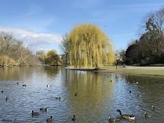 A Busy Lake (Eleanor (No multiple invites please)) Tags: phone regentsparklake lake regentspark london coots tuftedducks pochard canadagoose willowtree march2018