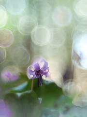 Light like rain shining down (Tomo M) Tags: カタクリ dogtoothviolet erythroniumjaponicum flower nature bokeh trioplan bubblebokeh spring petal forest woods blur dof