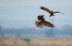 Marsh Harrier scrapping with a Buzzard (Trying a bit of wildlife stuff now.........) Tags: marshharrier blacktoft rspb eastyorkshire birdofprey harrier d500 buzzard fight