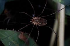 Daddy Longlegs (roman.chukanov) Tags: opiliones harvestman harvestmen arachnid macro slug night