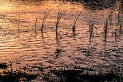 Evening in Lake Chautauqua Park (MJ6606) Tags: lily spring wildlife sunset flowersplants water park lake evening landscape florida