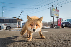 A cute stare (BP Chua) Tags: japan hokkaido redfox fox animal wildlife nature wideangle town nikon d750 wild stare