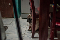 jarvis the pug (santi.gual) Tags: nikond5000 yongnuo35mmf2 pug dogs pet