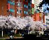 Sillim-dong Cherry Blossoms 2 (Daniel Smukalla) Tags: 135mmsamyang dslt asia korea silim sony sonya99 southkorea 대한민국 소니 한국 seoul kr sillim gwanakgu