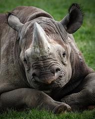 The cutest little face in the park! (joannekerry) Tags: rhinoceros blackrhino rhino yorkshirewildlifepark wildlife canon nature