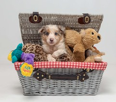 Shes a Star (Chris Willis 10) Tags: puppy star teddybear cute dog toy animal pets basket small fluffy stuffedtoy sitting younganimal brown studioshot canine gift purebreddog fun nopeople toybox toys redmerle bordercollie
