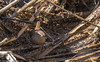 9Q6A8347 (2) (Alinbidford) Tags: alancurtis alinbidford brandonmarsh nature wildbirds wildlife wren