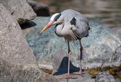 Airone Cenerino // Grey Heron (Christian Papagni | Photography) Tags: segrate lombardia italia it airone cenerino grey heron milano due laghetto dei cigni