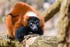 Staring in the distance (Photography by Martijn Aalbers) Tags: vari monkey ape beast animal mammal aap beest dier life leven zoo dierentuin park parc nature natuur deapenheul apeldoorn gelderland guelders canoneos77d ef70200mmf4lisusm wwwgevoeligeplatennl