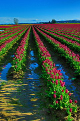 0J7A6197hdr E (rogerbtree) Tags: tulips flowers daffodils skagitvalley laconnerwa farming spring springcolor colorful canon canon5div canon7dii sunsetandflowers sunset