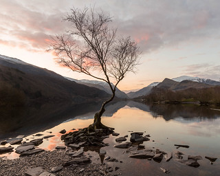 Spring sunrise at the Lonely tree on Llyn Padarn