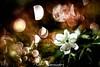 Buschwindrose_ (udo w-a-n-n-i-n-g-e-r) Tags: vintage lens manual focus spring manualfocus flora bokeh bokehlicious blumen pflanzen macro preset mth beyondbokeh vintagelens manuallens manualfocusing manualexposure manualondigital udowanninger blumenwanninger macrotube macros dof smooth blur bokehgraph flowers flower garden nature ngc greatphotographers dreamy beautiful petals detail depthoffield smoothbokeh extremebokeh silkybokeh primelensprime