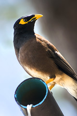 Common myna_VI (GreenLena) Tags: common myna black bird yellow pick