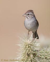 Rufous-winged Sparrow (Matt Shellenberg) Tags: cactus rufouswinged sparrow rufouswingedsparrow arizona desert southwest matt shellenberg