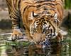 I am Master of this Thing Called Water (Penny Hyde) Tags: bigcat cub safaripark sumatrantiger tigercub