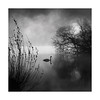SWAN (Nick green2012) Tags: swan lake square blackandwhite mist minimal silence