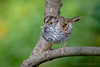 White-throated Sparrow (Kevin James54) Tags: lakegalena nikond850 peacevalleypark tamron150600mm whitethroatedsparrow zonotrichiaabicollis animals avian bird kevingianniniphotocom sparrow