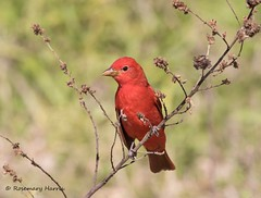 Summer Tanager (rosemaryharrisnaturephotography) Tags: summertanager florida fortdesoto migration bird red rosemaryharris canon7dmk11 daytime canon400mmf56seriesllens wildlife nature green grass seedheads sunny park tanagers coth5 ngc
