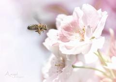 spring dream (Wilma van Oorschot) Tags: wilmavanoorschot angelphotography olympusem5 olympusomde5 olympus leicadgmacroelmarit45f28 macro blossom flower flowerswithinsects insect bee nature outdoor spring pink
