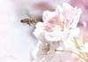spring dream - Explored 2018-04-22 (Wilma van Oorschot) Tags: wilmavanoorschot angelphotography olympusem5 olympusomde5 olympus leicadgmacroelmarit45f28 macro blossom flower flowerswithinsects insect bee nature outdoor spring pink
