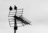 Antenne 2 ... (Pi-F) Tags: antenne a2 deux 2 télévision oiseaux couple nb noiretblanc tourterelle noir blanc bw