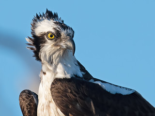 Osprey (17 years old)