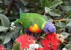 Rainbow Lorikeet in our Flowering New Zealand Christmas Bush (derekngill) Tags: birds bird parrots australia floweringtrees flowers