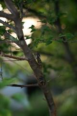 蝉(Cicada)