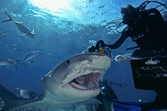 Jim feeding tiger shark (ScottS101) Tags: ocean nature danger ilovenature scary marine nw jaw teeth scuba diving jaws shearwater bahamas allrightsreserved abernathy wilflife animalencounters galeocuerda ilovetheocean cuviersharks copyrightscottsansenbach2008