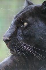 Black Panther (tim ellis) Tags: animal cat carnivore leopard santago panther black bigpicture2008 photofriday msh1017 msh10174