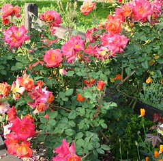 060430_075030 (cmrowell) Tags: roses spring ouryard ourgarden