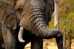 Dude! (Wildcaster) Tags: africa elephant nature wildlife dumbo conservation safari zimbabwe jumbo tusks africanelephant southernafrica tusker cites loxodontaafricana africanwildlife phylumchordata malilangwe kingdomanimalia classmammalia wildlifeconservation wildcasting greatlimpopotransfrontierpark wildlifedocumentary wildlifefilms wildlifeeducation gameranging gonarezhou orderproboscidea familyelephantidae genusloxodonta wildcastselect