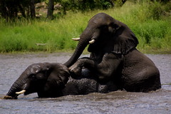 Bulls at play (Wildcaster) Tags: africa elephant nature wildlife dumbo conservation safari zimbabwe jumbo tusks africanelephant southernafrica tusker cites loxodontaafricana africanwildlife phylumchordata malilangwe kingdomanimalia classmammalia wildlifeconservation wildcasting greatlimpopotransfrontierpark wildlifedocumentary wildlifefilms wildlifeeducation gameranging gonarezhou orderproboscidea familyelephantidae genusloxodonta wildcastselect
