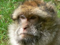 Monkey Puzzler! (johnmuk) Tags: monkey 2006 trentham macaque monkeyforest barbary barbarymacaque specanimal trenthammonkeyforest