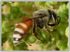 (aZ-Saudi) Tags: insect bees arabic bee saudi arabia ksa     arabin arabs
