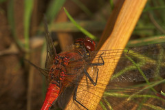 "Ruddy Darter (Sympetrum sanguineum) D(1) • <a style=""font-size:0.8em;"" href=""http://www.flickr.com/photos/57024565@N00/218275328/"" target=""_blank"">View on Flickr</a>"