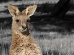 G'day Skip! (OzBandit) Tags: light blackandwhite nature animal horizontal bush australia kangaroo outback canberra marsupial folio roo krystof topfav thecontinuum p1f1 ozbandit topfavozbandit20h topfavozbandit20