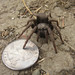 California tarantula with quarter