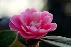 bold camellia (michenv) Tags: pink flowers flower leaves digital garden spring backyard nikond70 bokeh dusk michelle australia camellia 花 mygarden 庭 tamron90mm macrolens 春 椿 ピンク つばき オーストラリア tamronlens michenv 私の庭