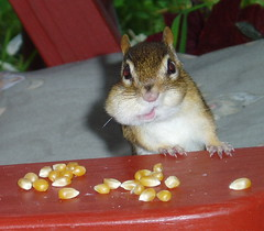 Hi There! (alcona) Tags: chipmunk specnature