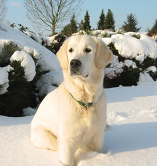 Ditte in the snow (Ingrid0804) Tags: winter snow dogs goldenretriever denmark golden retriever whitedog artcafe farum diamondclassphotographer damniwishidtakenthat 100commentgroup worldglobalaward globalworldawards saariysqualitypictures