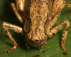 "Head on view of a Dark Bush Cricket (Pholidoptera griseoaptera) • <a style=""font-size:0.8em;"" href=""http://www.flickr.com/photos/57024565@N00/231120845/"" target=""_blank"">View on Flickr</a>"
